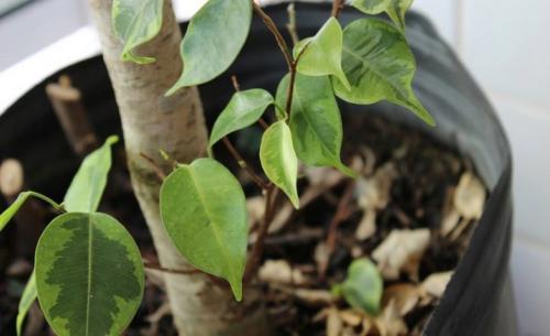 Waarom de Ficus geel en herfstbladeren is. De belangrijkste redenen voor het vergelen van de bladeren 10