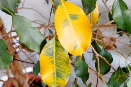 Почему у фикуса желтеют и опадают листья. Основные причины пожелтения листьев