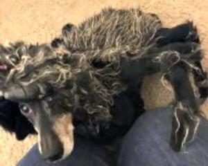 spider dachshund costume