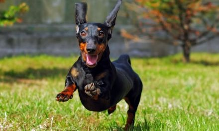 How to Deal With Your Dachshund's Temperament