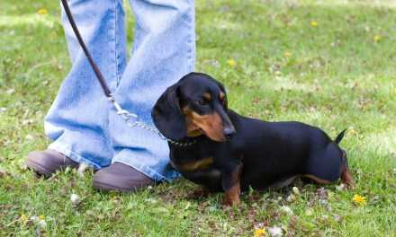 An Overview To Training Dachshund