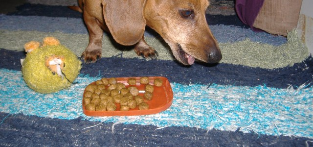 Are you aware that the dog food we are feeding our Dachshunds can cause sickness and allergies? After the big pet food recall I think we have all become a little more aware about the dog food we are feeding our Dachshunds and that it may not always be as safe as it should be.