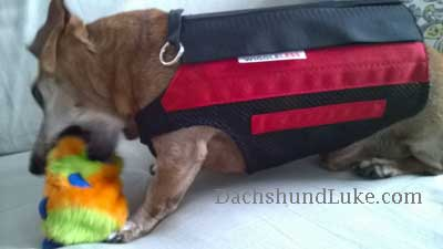 wiggle less back brace on a dachshund