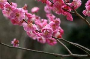 会社の近くの公園でも梅が咲き始めた