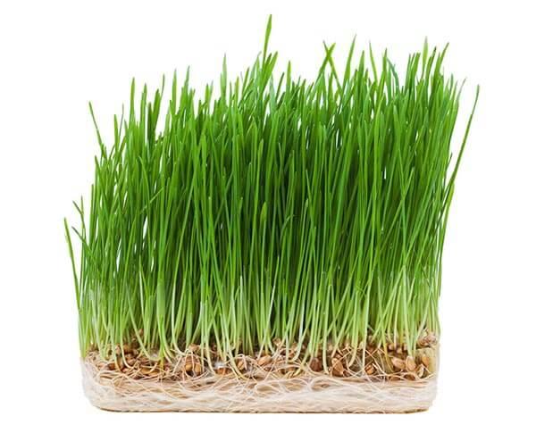 wheatgrass-600px