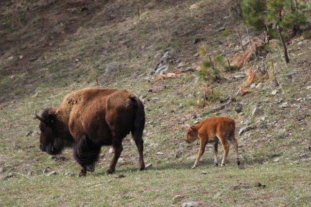 mom and baby buffalo
