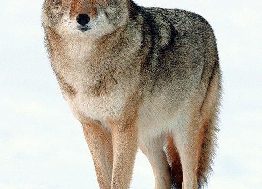 Predators on the Farm: Coyote