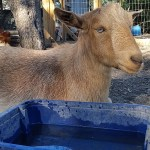 Losing A Good Goat to Urinary Calculi