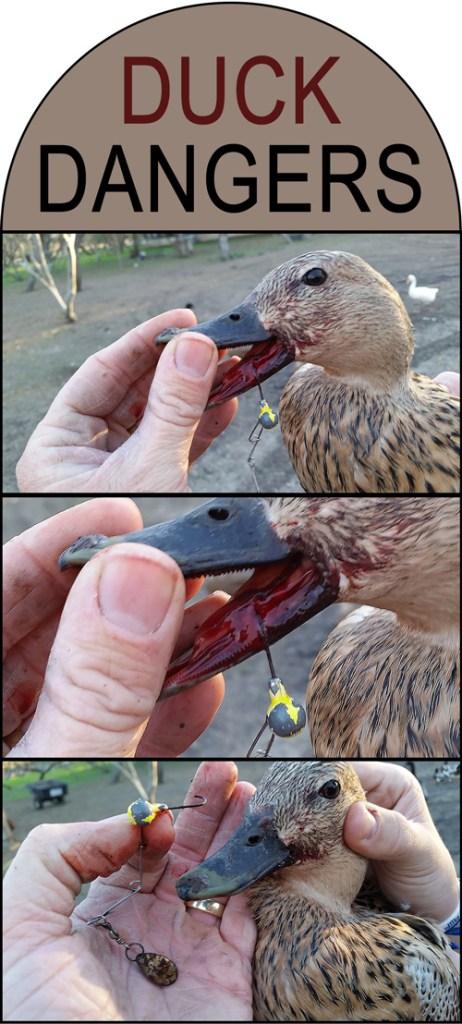 Duck Dangers