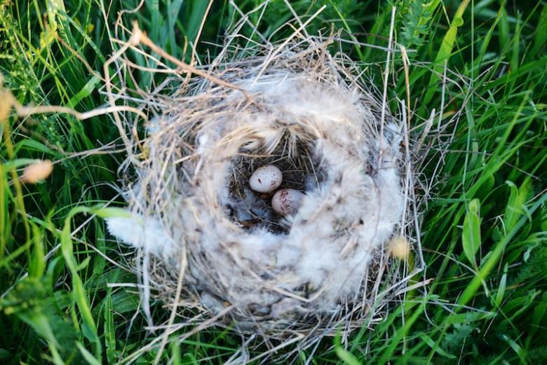Bird nest with eggs in grass