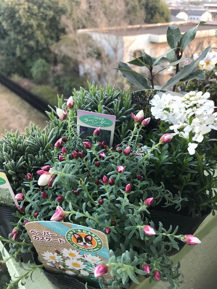 花の畫像について: 最高かつ最も包括的なラベンダー 花 月桂樹