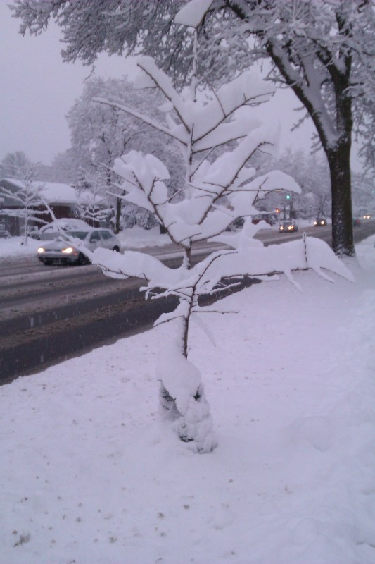 Image of small tree with several inches of snow balanced on its branches