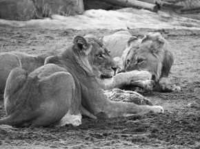 Lion Lunch