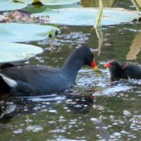 Moorhen Chicks growing