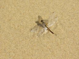 dragonfly waiting to be rescued from the sand