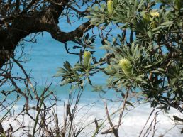 bright blue sea through Banksia integrifolia