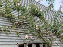 roses on the galvanised iron