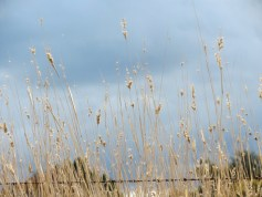 grass heads and sky