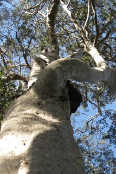 300 year old spotted gum