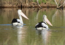 a pair of pelicans flew in to check out the lagoon