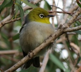 LHI White-eye