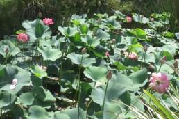 lotus mayhem