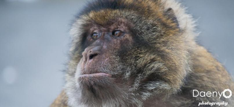 Apes of Gibraltar