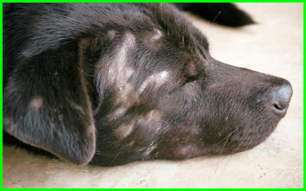 obat alami penyakit kulit anjing, jenis penyakit kulit pada anak anjing, penyakit gatal pada kulit anjing, gambar penyakit kulit pada anjing, penyakit kulit hitam pada anjing, jenis penyakit kulit pada anjing, jenis2 penyakit kulit pada anjing, penyakit kulit pada kaki anjing, macam2 penyakit kulit anjing, penyakit kulit scabies pada anjing, macam macam penyakit kulit pada anjing