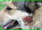 penyakit kulit pada anak anjing apa obat alami antibiotik untuk jenis mengobati penyebab bayi bernanah cara merawat menyembuhkan mengatasi menghilangkan gatal gambar herder hitam jamur jenis2 kaki macam macam2 sakit secara scabies 3