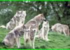 adaptasi hewan serigala, apa saja hewan adaptasi, apa saja bentuk adaptasi hewan, apa saja contoh adaptasi fisiologi pada hewan, hewan apa saja yang adaptasi morfologi, jenis adaptasi hewan, jenis adaptasi hewan dan contohnya, apa itu adaptasi hewan, apa fungsi adaptasi pada hewan, apakah fungsi adaptasi pada hewan, apakah fungsi dari sistem adaptasi hewan, cara adaptasi hewan, mengapa hewan adaptasi