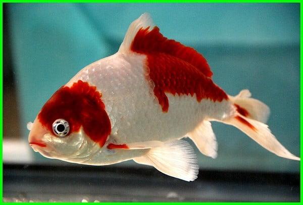 jenis ikan koki cantik, jenis ikan koki bagus, jenis ikan koki yang bagus, jenis ikan koki yg paling bagus