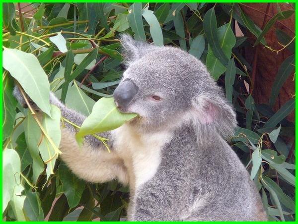 pohon khas australia makanan koala, nama pohon khas australia makanan koala, makanan utama koala, makanan untuk koala, pohon australia koala makanan bagi marsupialia, pohon australia koala tts, pohon australia untuk makan koala, pohon khas australia makanan koala
