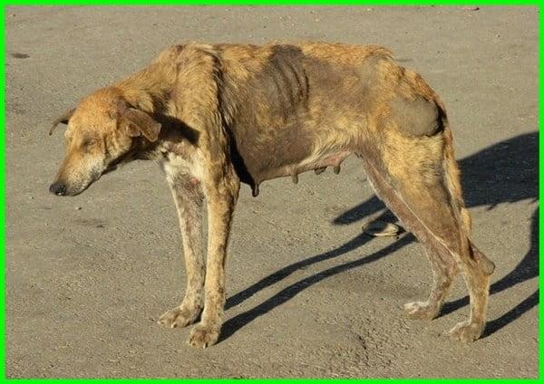 penyakit anjing menular ke manusia, penyakit anjing yang menular ke manusia, penyakit dari anjing ke manusia, penyakit kutu anjing pada manusia, penyakit anjing yang menular pada manusia, penyakit anjing yg menular ke manusia, penyakit yang ditularkan anjing ke manusia