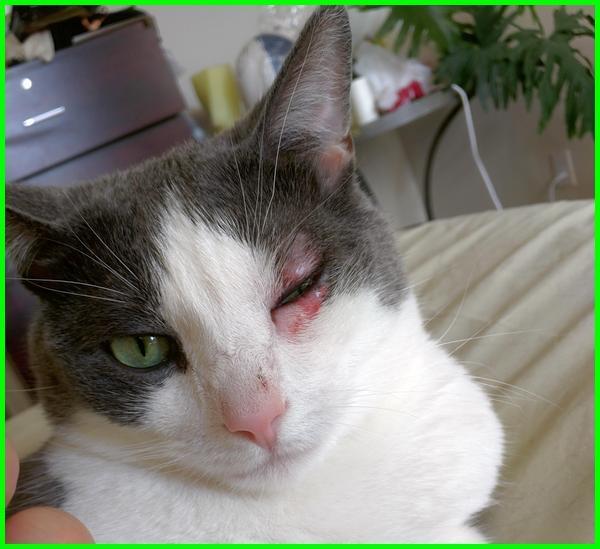 penyakit kucing apa, penyakit kucing di mata, penyakit kucing dan pengobatannya, penyakit kucing kecil, penyakit kucing lemas, penyakit untuk kucing, macam macam penyakit kucing, 5 penyakit pada kucing, apa saja penyakit kucing, apa itu penyakit fip kucing, apa penyakit kucing, nama penyakit kucing, nama penyakit pada kucing, penyakit kucing dan obatnya