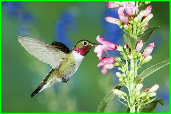 apa saja makanan burung kolibri ninja, makanan burung kolibri, apa makanan burung kolibri, jenis makanan burung kolibri, pakan burung kolibri, apa makanan kolibri ninja, apa makanan kolibri kelapa, apa makanan kolibri muncang, jenis makanan kolibri, bagaimana cara burung kolibri beradaptasi, cara burung kolibri beradaptasi, cara adaptasi burung kolibri, cara merawat burung kolibri, merawat burung kolibri, cara perawatan burung kolibri, perawatan burung kolibri