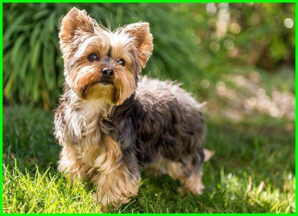 jenis anjing kecil lucu,jenis anjing kecil lucu dan harganya, jenis anjing kecil dan lucu, jenis jenis anjing kecil lucu, jenis anjing kecil yang lucu, nama jenis anjing kecil lucu, jenis anjing kecil yg lucu, jenis anjing lucu kecil