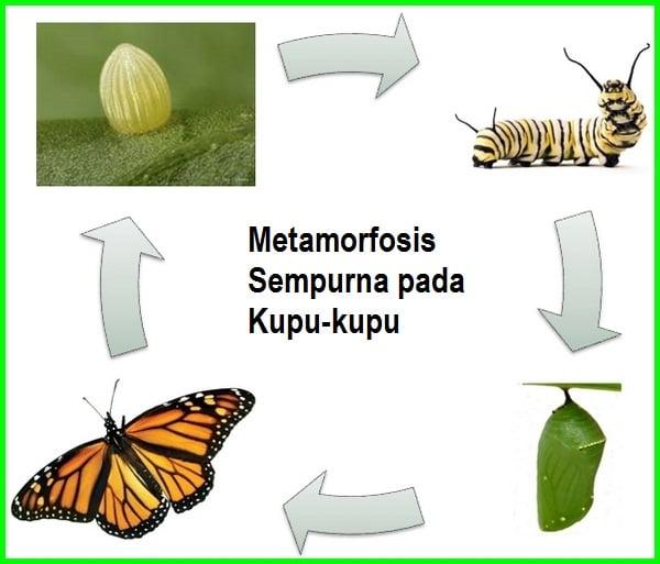 metamorfosis kupu kupu sempurna, urutan metamorfosis kupu-kupu adalah, tahapan metamorfosis kupu-kupu adalah, metamorfosis pada kupu-kupu adalah, metamorfosis kupu kupu beserta penjelasannya, metamorfosis kupu-kupu serta penjelasan, metamorfosis kupu kupu beserta gambarnya, metamorfosis kupu kupu cantik, kupu-kupu contoh metamorfosis sempurna, contoh gambar metamorfosis kupu kupu, fase metamorfosis kupu kupu, metamorfosis kupu kupu gambar