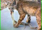 predator ular adalah, predator alami ular, predator pemangsa ular, hewan predator ular, kucing predator ular, apa saja predator ular, predator vs ular, apa saja predator ular