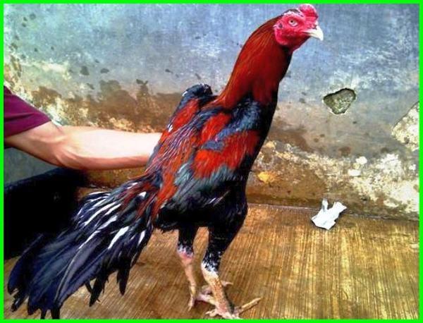 cara ayam bangkok berani bertarung, cara ayam bangkok jadi ganas, cara merawat ayam bangkok agar pukulan keras, cara melatih ayam bangkok agar pukulan keras, bagaimana cara membuat ayam bangkok menjadi ganas, cara melatih ayam bangkok pukul saraf, cara melatih ayam bangkok pukul mati