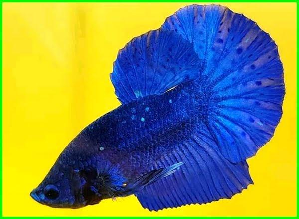 Blue plakat betta fish, ikan cupang plakat biru, ikan cupang plakat warna biru, cupang plakat biasa, cupang warna biru, cupang plakat multicolor, kelebihan cupang plakat