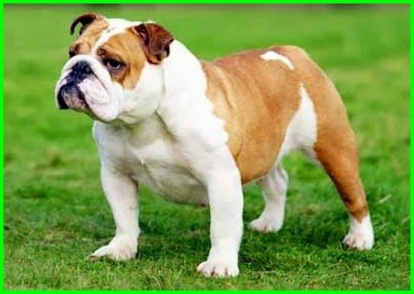 anjing berekor pendek