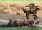 burung pemakan daging adalah, burung pemakan daging contohnya, burung pemakan daging selain elang, burung yang termasuk pemakan daging adalah, adaptasi morfologi burung pemakan daging, burung buas pemakan daging, contoh burung pemakan daging, ciri burung pemakan daging, ciri2 burung pemakan daging, macam burung pemakan daging