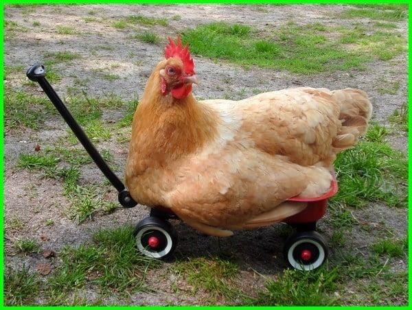 cara mengobati ayam gejala lumpuh, obat ayam mau lumpuh, cara mengobati ayam bangkok gejala lumpuh, cara mengobati ayam lumpuh habis tarung, cara sembuhkan ayam lumpuh, cara menangani ayam lumpuh, cara mengobati ayam jago lumpuh, cara mengatasi ayam joper lumpuh, cara jitu mengobati ayam lumpuh, cara mengobati ayam lumpuh kaki, cara menyembuhkan ayam lumpuh kaki