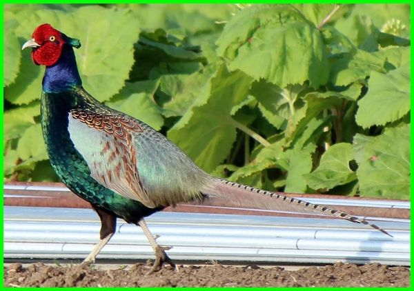 ayam pheasant jogja, jenis ayam pheasant dan harganya, jenis ayam ringneck pheasant, jenis jenis ayam pheasant, ayam pheasant harga, ayam pheasant, beli ayam pheasant, asal ayam pheasant, ayam pheasant wikipedia, jenis ayam tibet