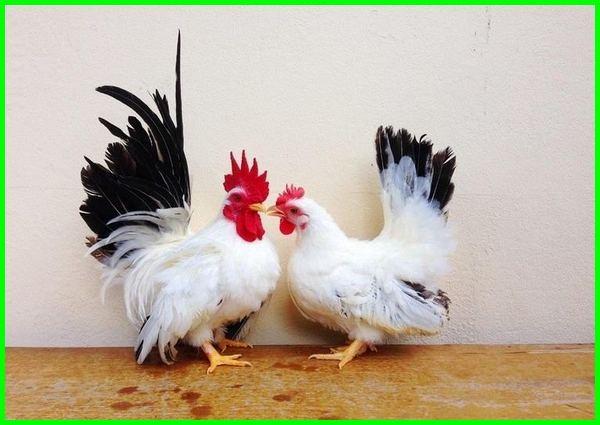 ayam kate batik, ayam kate togel, ayam kate batik harga, ayam kate warna putih, ayam kate warna unik, ayam kate hias asli, pakan ayam kate agar cepat bertelur, makanan ayam kate agar cepat bertelur, makanan ayam kate apa, cara merawat ayam kate agar cepat bertelur