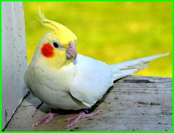 jenis burung falk yang mahal, jenis burung falk dan harganya, jenis burung falk, jenis burung falk dan harga, jenis burung falk australia, jenis burung falk yang bagus, jenis dan warna burung falk, jenis warna dan harga burung falk, harga dan jenis burung falk, jenis2 burung falk, foto jenis burung falk, gambar jenis burung falk