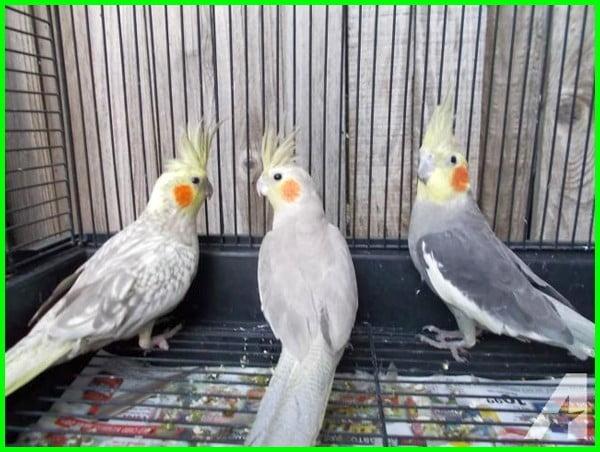 burung falk cinnamon, jenis burung falk, jenis burung falk australia, jenis burung falk paling mahal, macam jenis burung falk, jenis dan warna burung falk, jenis2 burung falk, foto jenis burung falk, jenis jenis burung falk