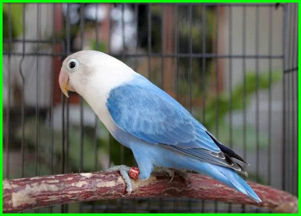 warna burung labet paling mahal, warna lovebird termahal, lovebird mahal berdasarkan warna, lovebird warna yang mahal, warna lovebird paling dicari