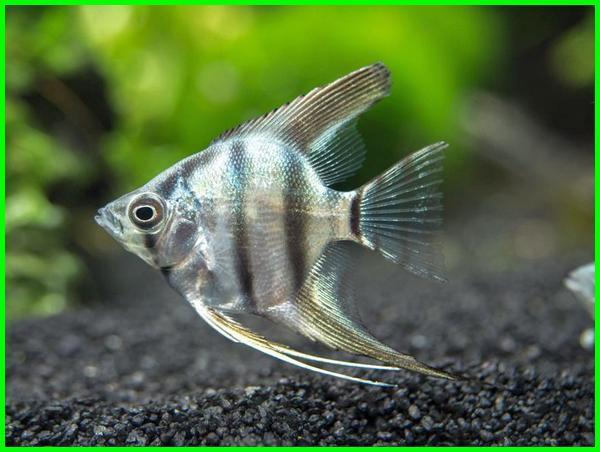 ikan angelfish air tawar, ikan angelfish, cara merawat ikan angelfish, angelfish air tawar, sifat ikan angelfish