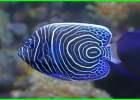 ikan hias air laut angelfish, ikan hias air laut aquarium, angelfish air laut, ikan angelfish laut, jenis ikan angelfish laut, ikan angelfish, ikan hias air laut tercantik, makanan ikan angelfish laut, ikan angel